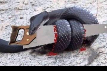 Chuyện: Con rắn và cái cưa
